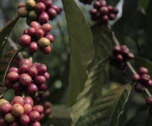 Kopi Akar; Evolusi Distribusi Pendapatan dari Pedesaan Menuju Ekonomi Industri.